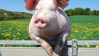 ادامهی کلنجار یک ارمنی برای مجوز پرورش خوک